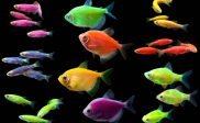 ikan Hias yang dapat bercahaya dalam gelap