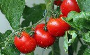 Cara Merawat Tanaman Tomat