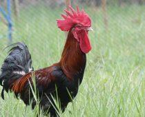 asal usul ayam